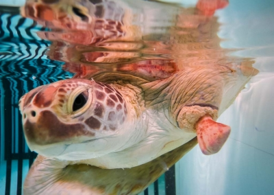 Lauren's blog - marine biology volunteer with Seamarc Maldives - rescue sea turtle