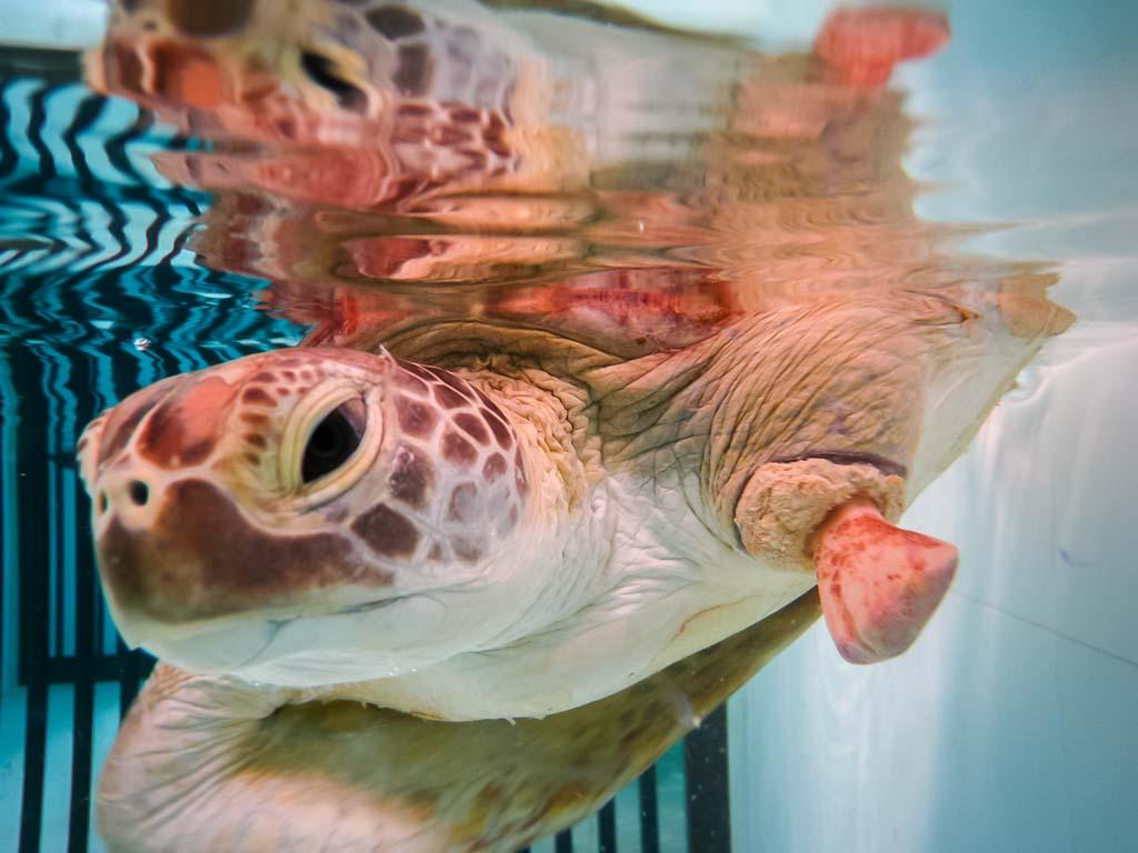 Lauren's blog - marine biology volunteer with Seamarc Maldives - rescue sea turtle
