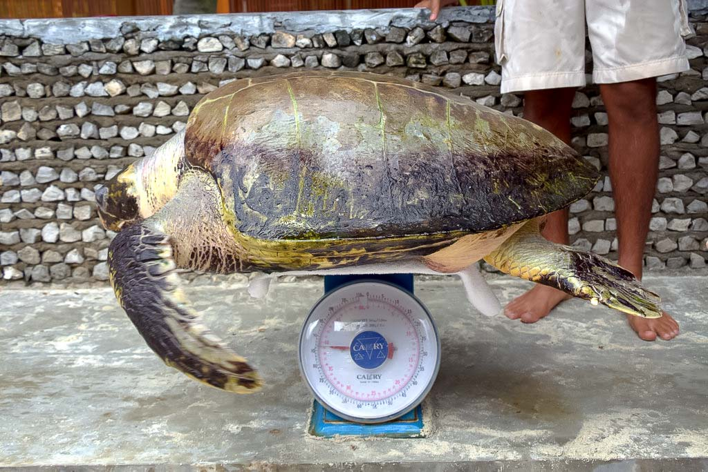 Lauren's blog - marine biology volunteer with Seamarc Maldives - turtle weighing