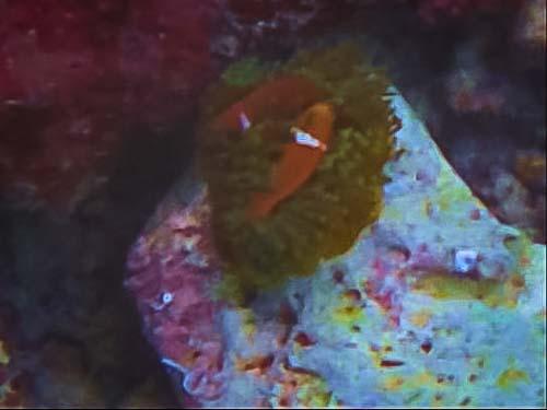Maldivian Clownfish release into the wild