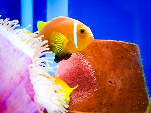 Maldivian Clownfish with eggs
