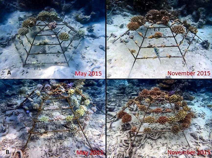 Reefscapers coral frames recovered from bleaching (A 2011 LG1260, B 2014 LG2043)
