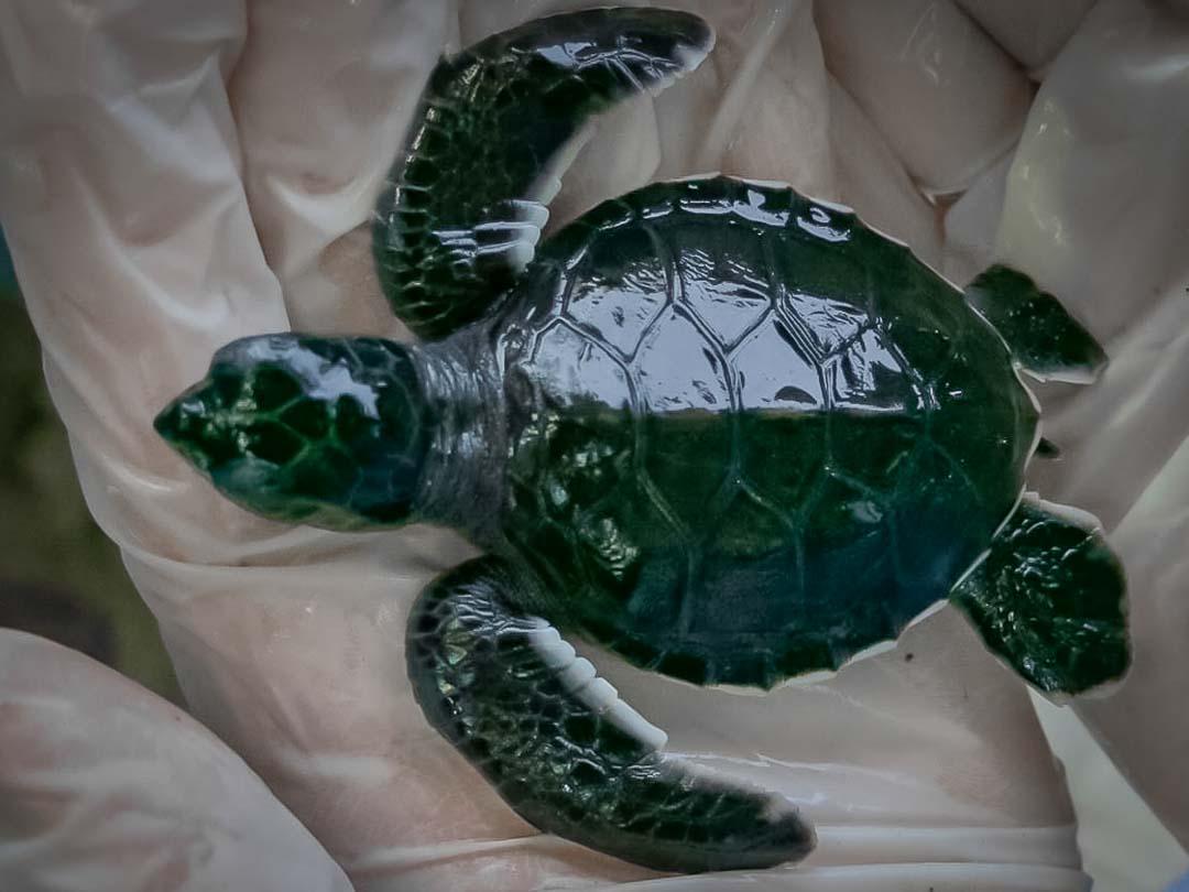 Lavender Peace turtle - at 1 week old