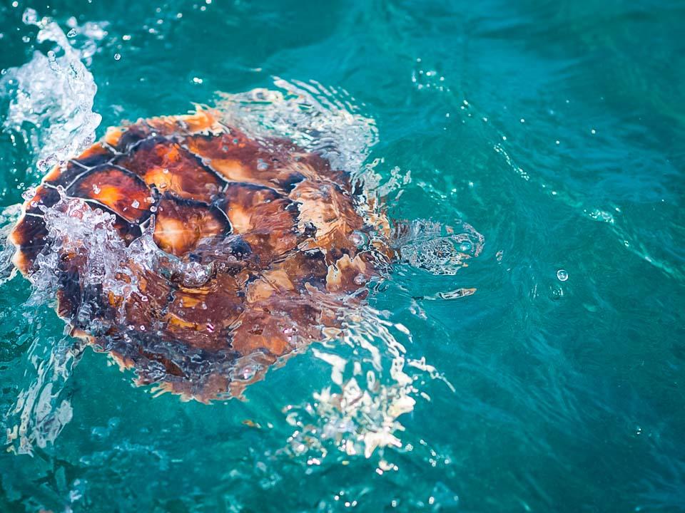 Head Start Green turtles - Daisy released