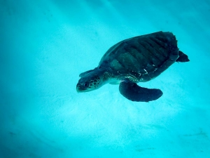 Rescue of Sawan – juvenile Olive Ridley turtle (Updates From Our Sea Turtle Teams)