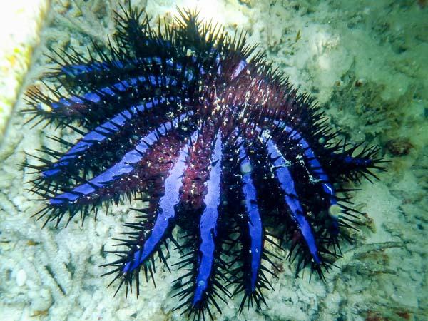 Emily ch2 – marine biology intern, Seamarc Maldives (1) COTS