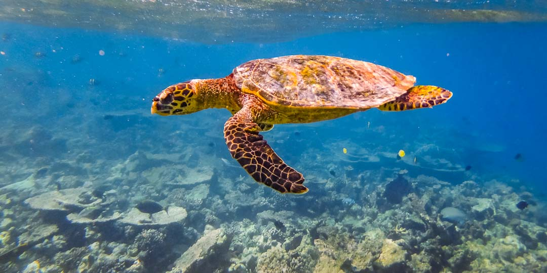 Emily ch2 – marine biology intern, Seamarc Maldives (5) Hawksbill turtle