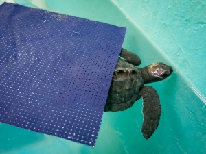 Winslow – post hatchling Olive Ridley turtle – in Pool (Rearing Sea Turtles For A Head Start)