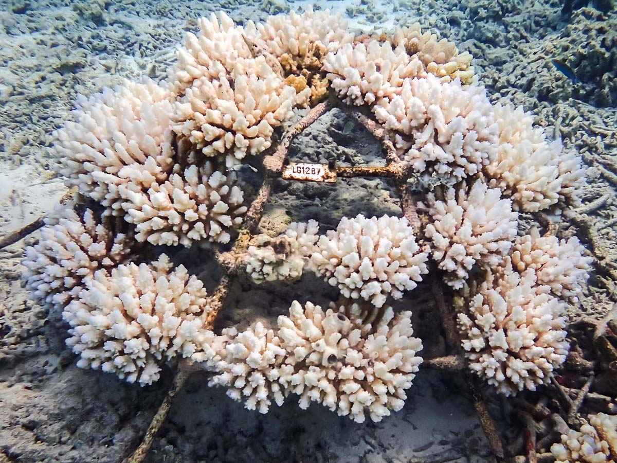 Extensive coral bleaching (frame LG1287 on 19-Apr-16)