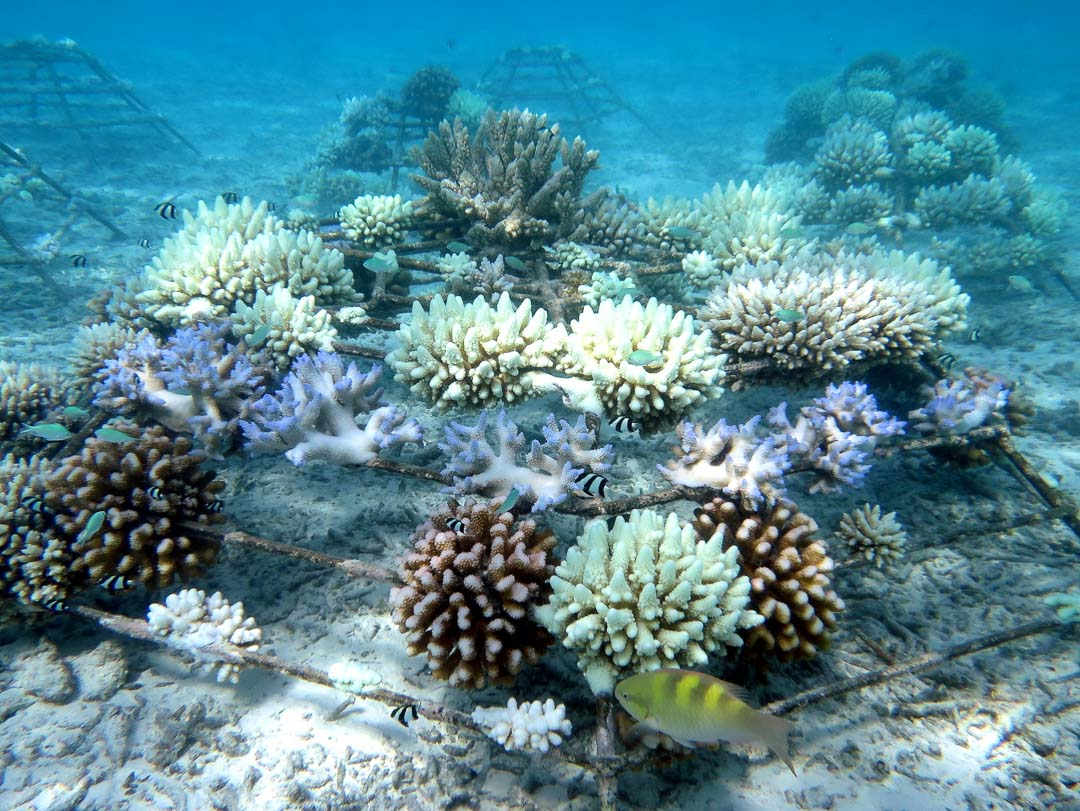 Coral Bleaching on Reefscapers Frames, Maldives [17-Apr-16]