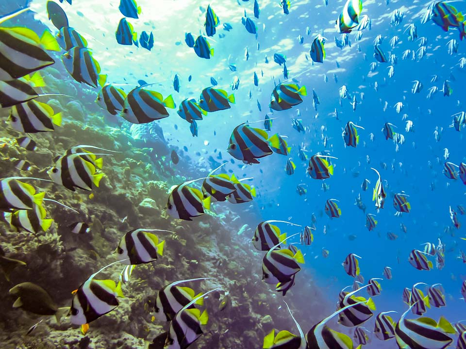 Excursions - bannerfish school - Marine Savers Maldives
