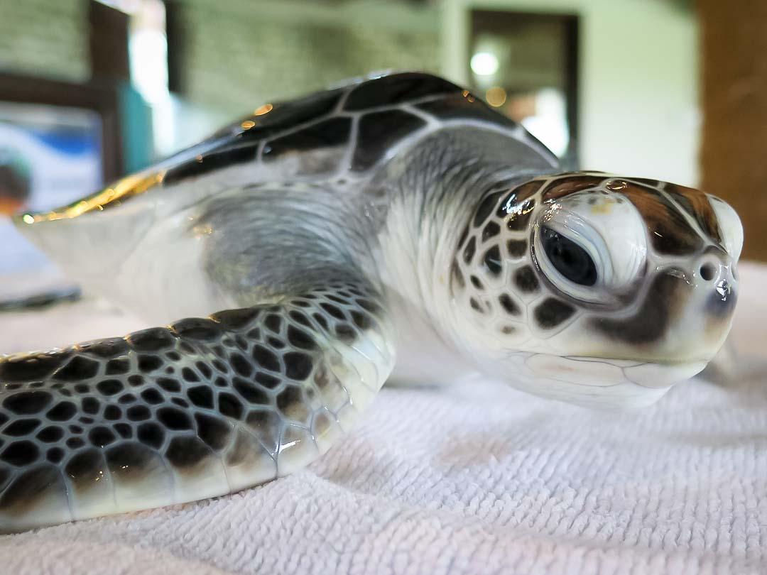 Honu - sea turtle conservation Maldives Marine Savers