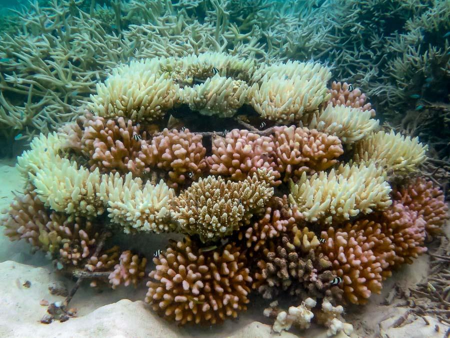 Frame KH0413 (20-Apr-16) Coral Bleaching Maldives