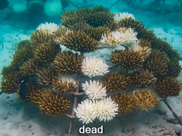 KH1030_3 dead (14-May-16) Coral Bleaching Maldives