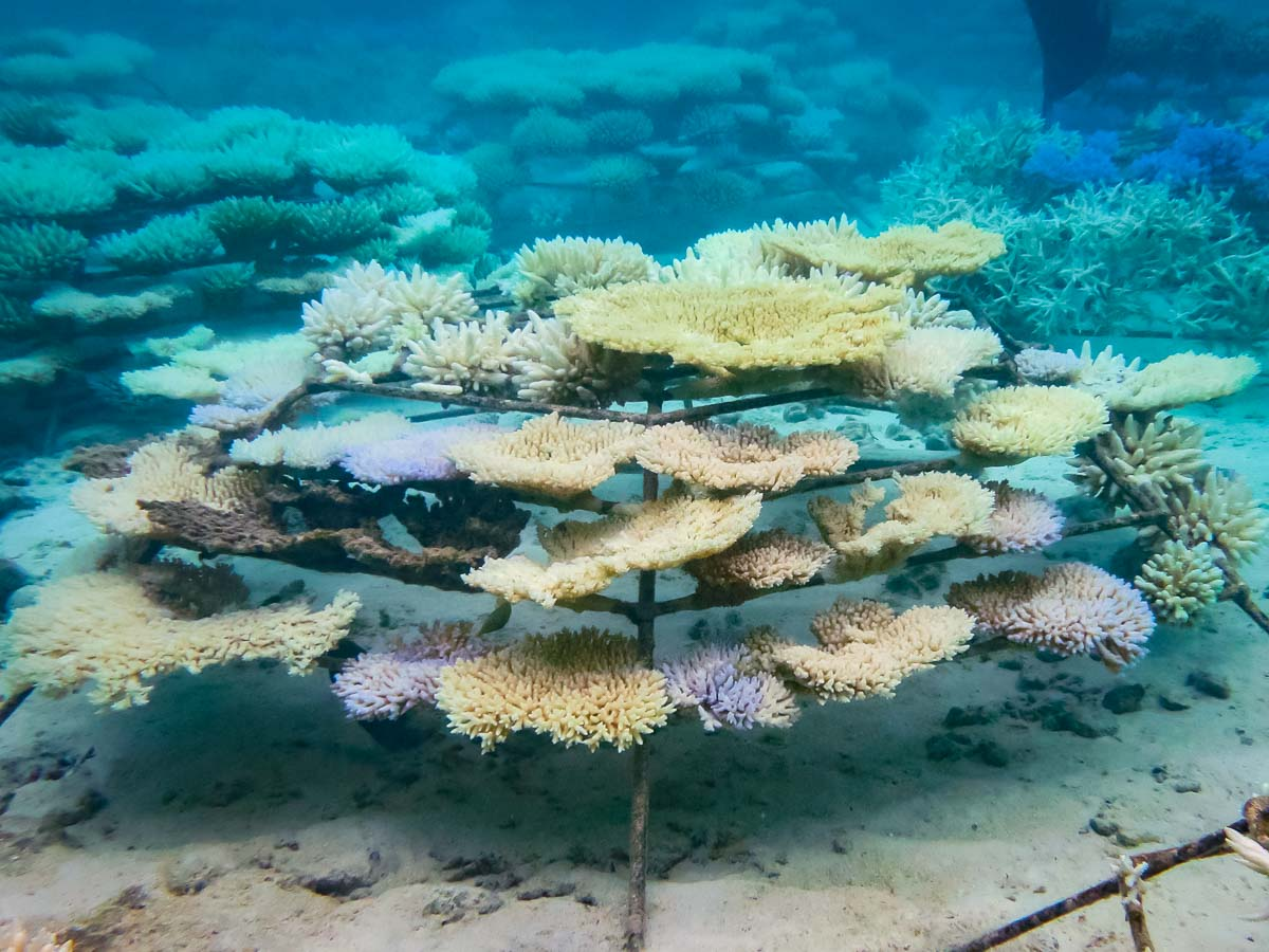 Coral bleaching, frame KH1124 Reefscapers Maldives