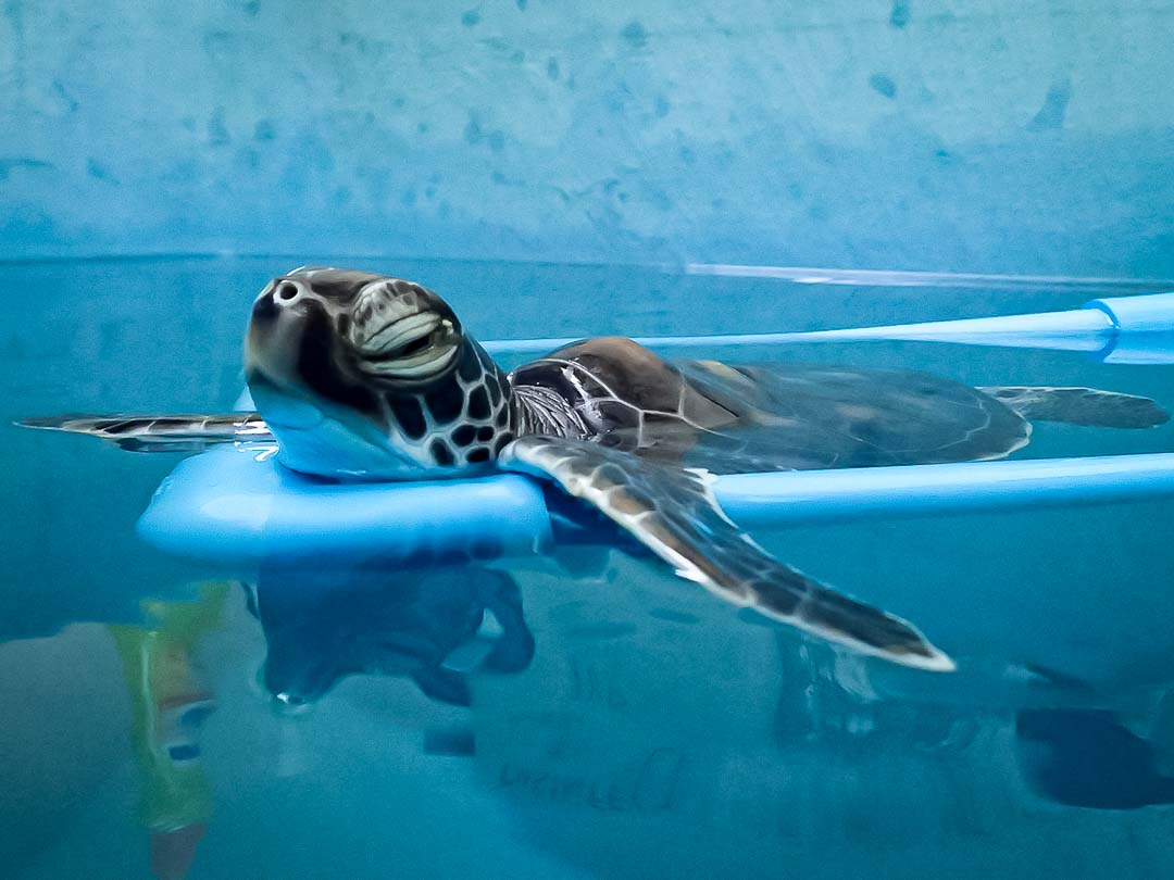 Kasabawa sea turtle conservation Maldives Marine Savers