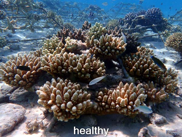 LG1016 healthy (26-Mar-16) Coral Bleaching Maldives