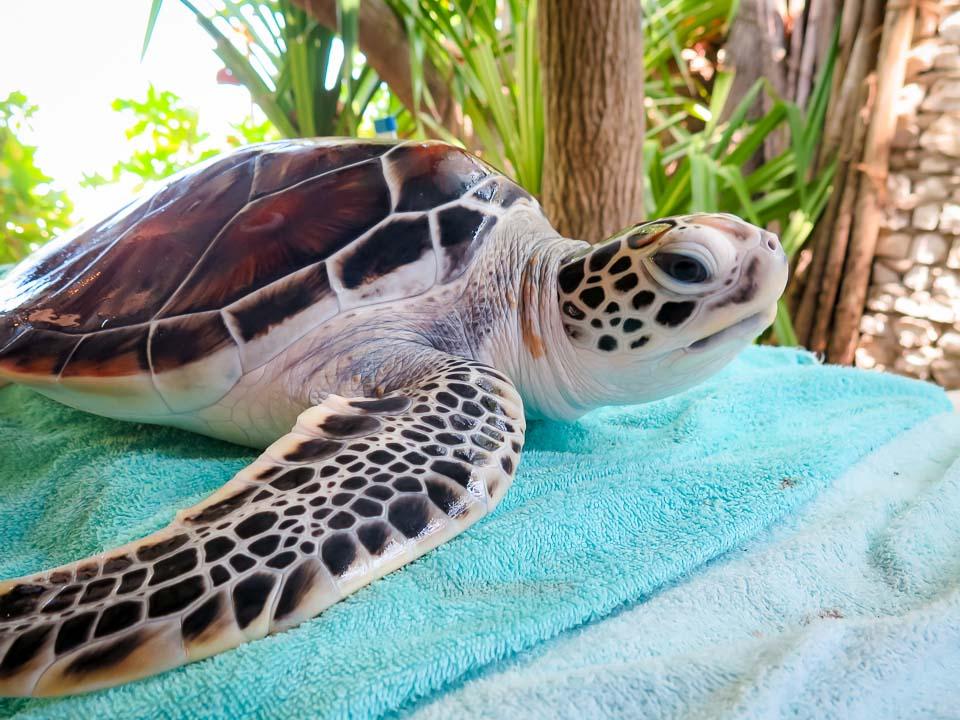 Sea Turtle Head Start - CM.085 Tommy - pre-release 29-Mar-16 (Marine Savers Maldives)