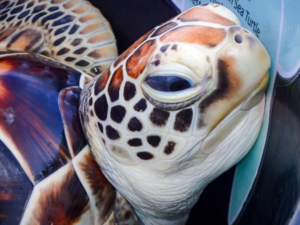 Sea Turtle Head Start - Lalu (CM100) release day - Marine Savers Maldives