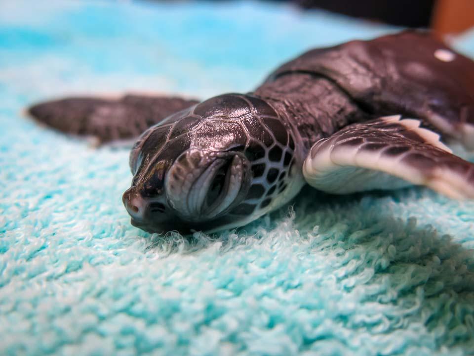 Sea Turtle Head Start - CM.100 Lalu upon admission Mar-15 Marine Savers Maldives