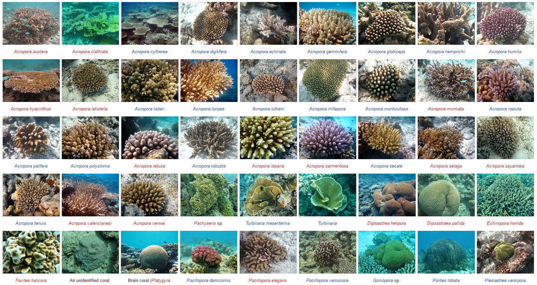 Wikipedia - Marine Life of Baa Atoll - Corals screenshot
