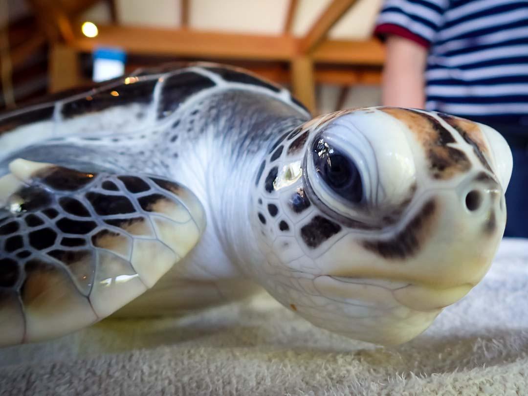 Bodhi sea turtle conservation Maldives Marine Savers