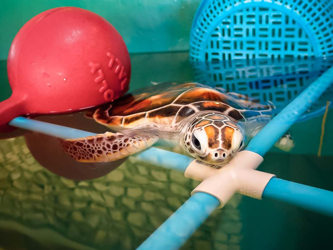 Tony - sea turtle conservation Maldives Marine Savers