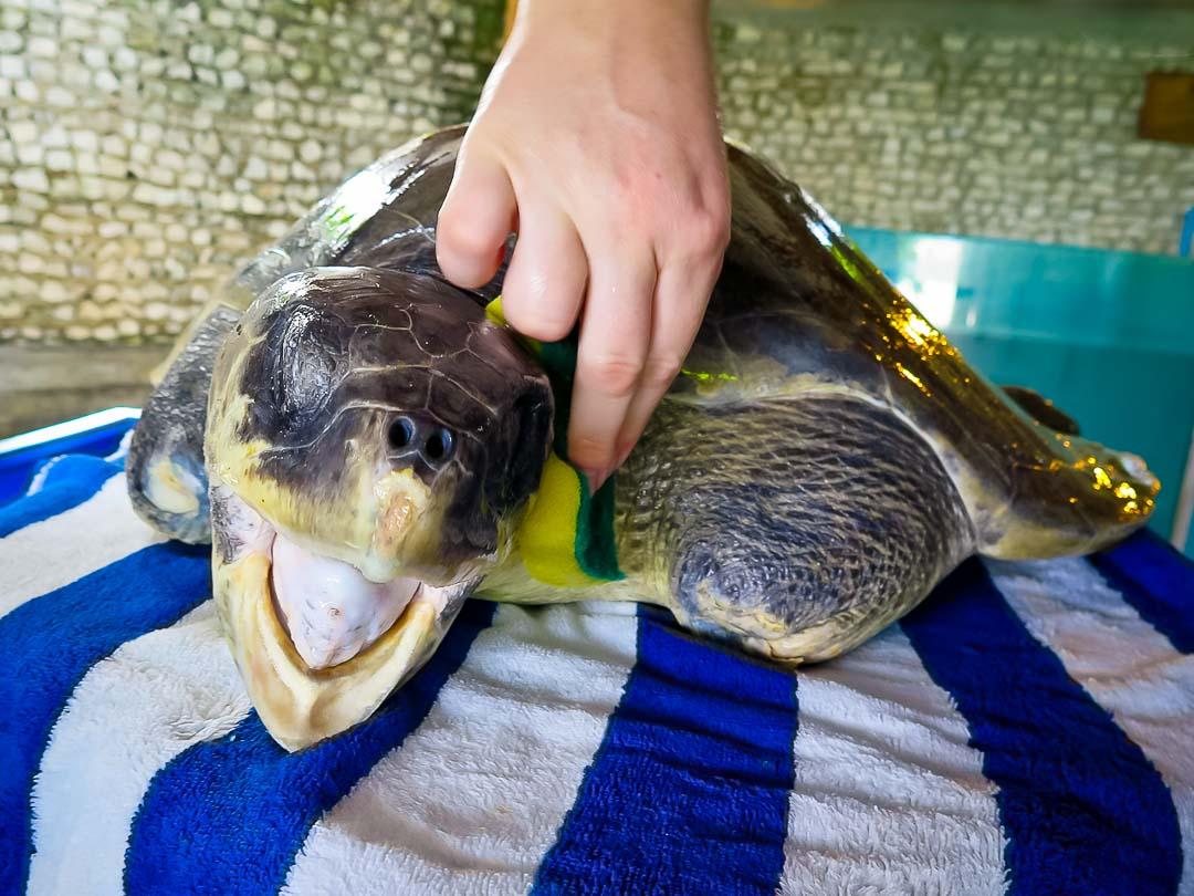 Greg - sea turtle conservation Maldives Marine Savers