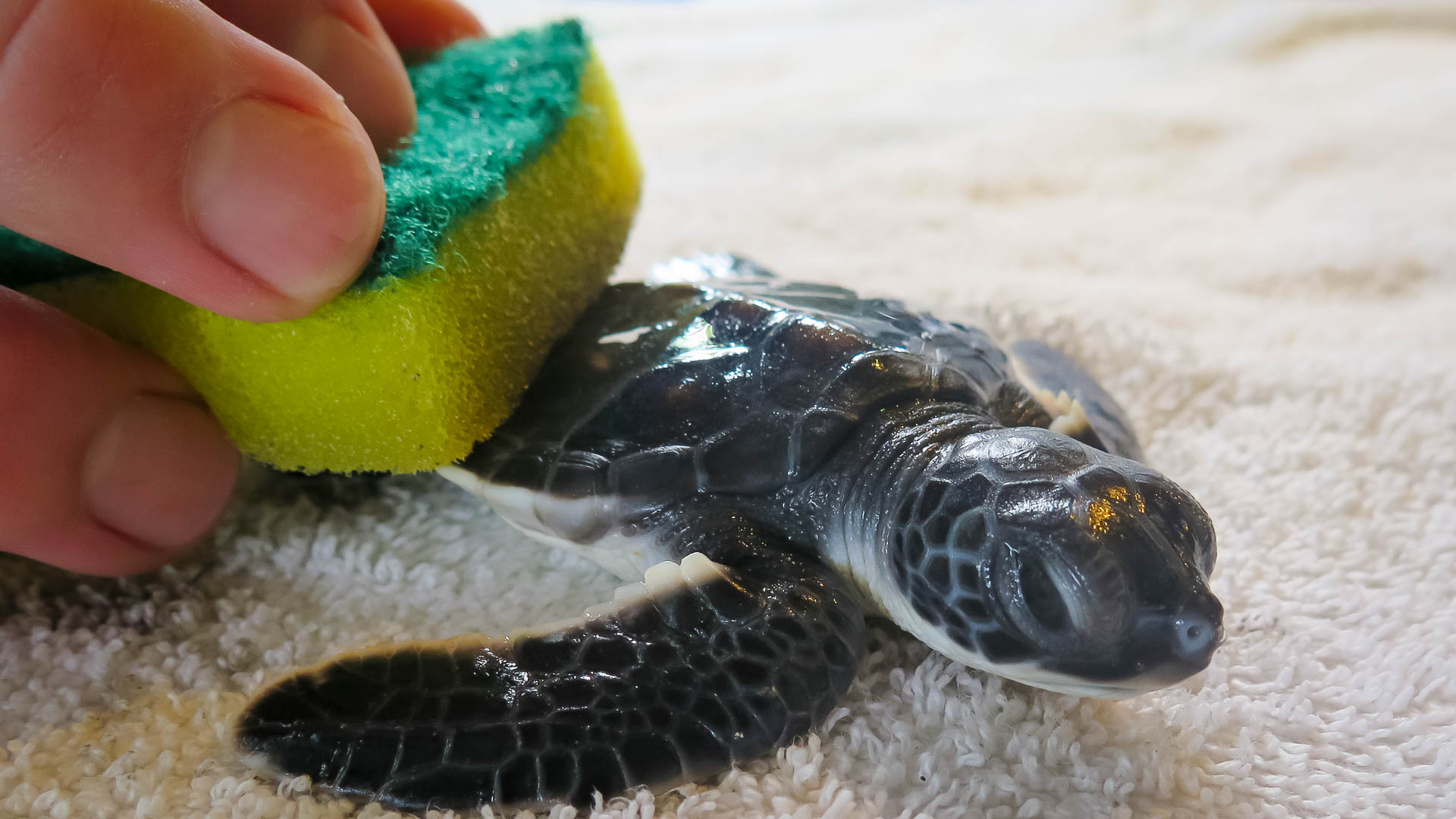 Adam intern Marine Savers Maldives turtle cleaning
