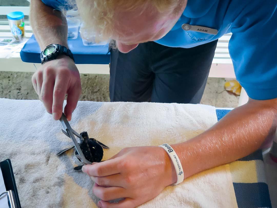 Adam intern Marine Savers Maldives turtle measuring