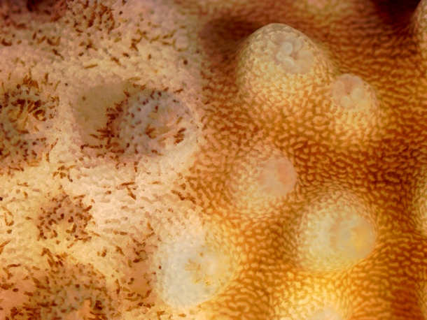 Coral brown band disease - closeup on brown band ciliates, eating tissue