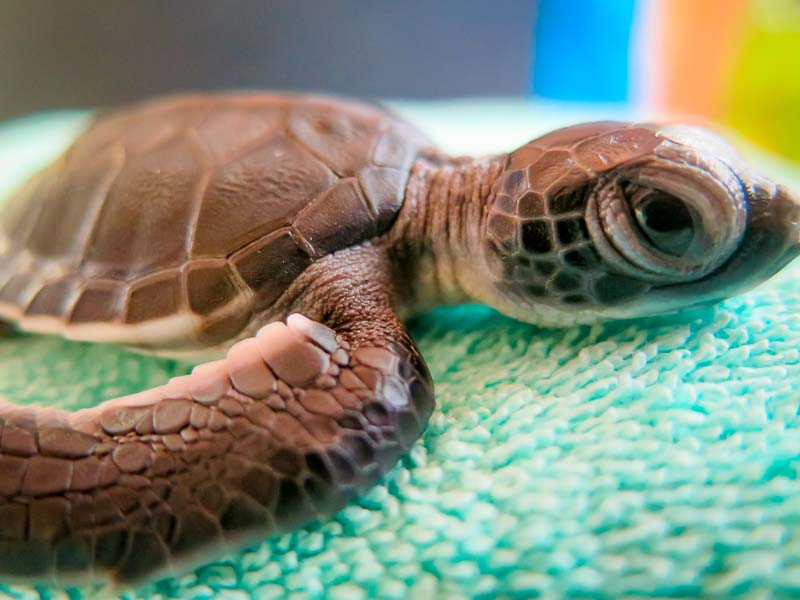 Green Sea Turtle hatchling - Flora - Marine Savers Maldives - sea turtle conservation