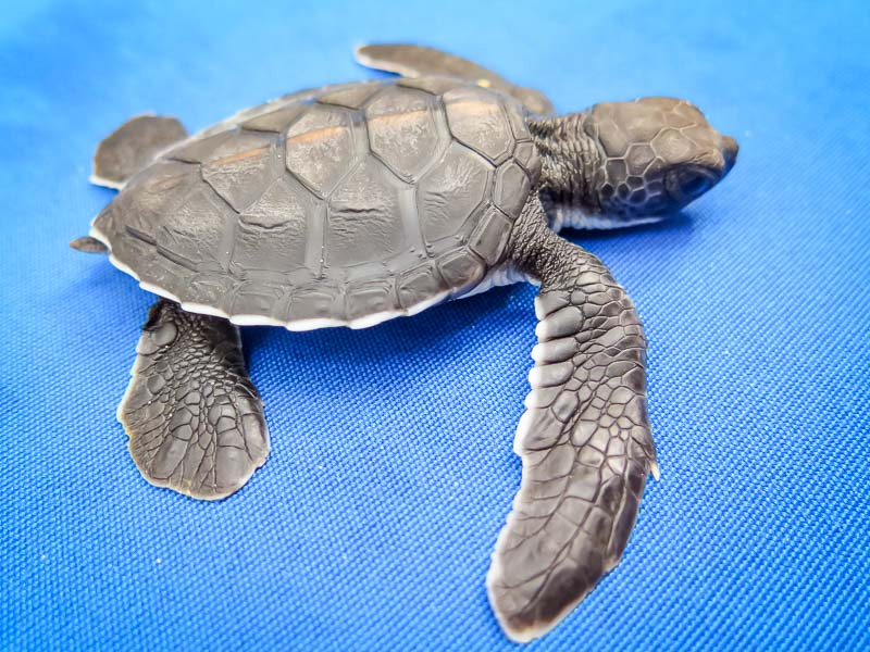 Green Sea Turtle hatchling - Kasbawa - Marine Savers Maldives - sea turtle conservation