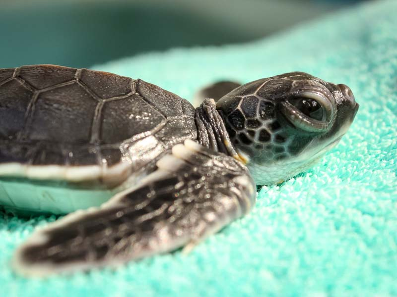 Green Sea Turtle hatchling - Tony - Marine Savers Maldives - sea turtle conservation