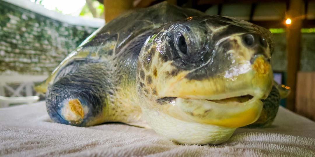 Rescue turtle 'Greg'
