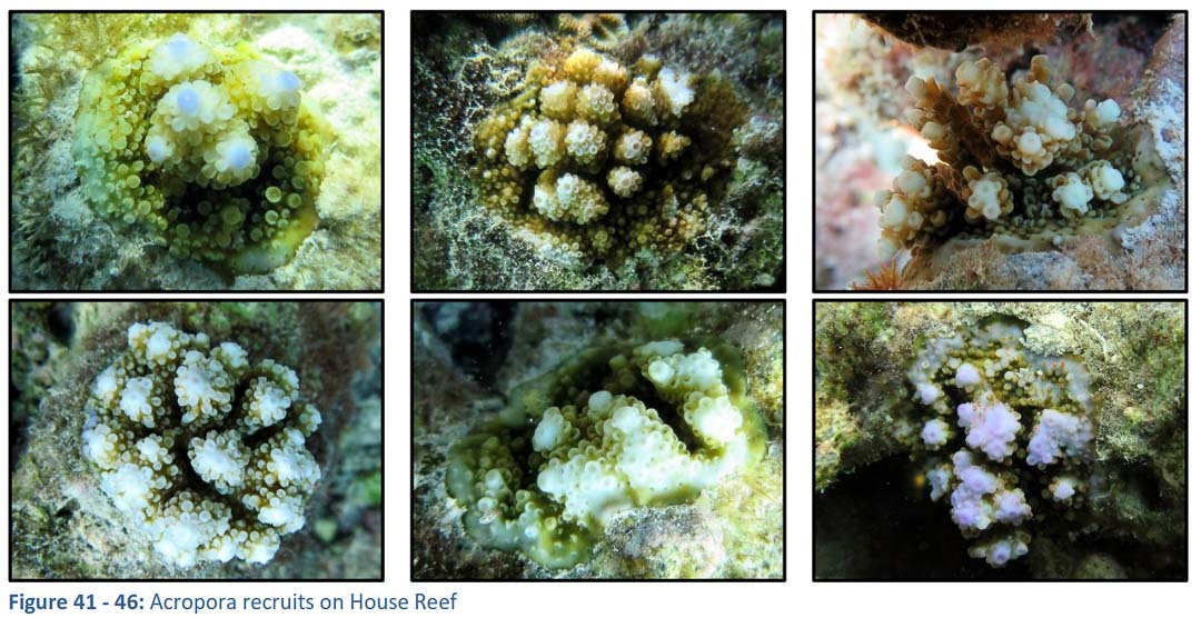 House Reef Corals – new recruits