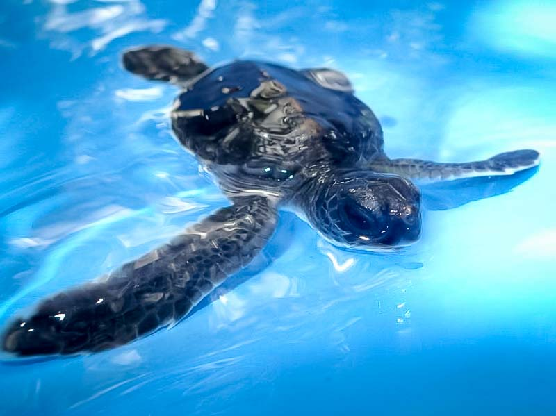 Turtle hatchling in pool