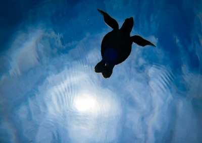 Turtle hatchlings released, Marine Savers Maldives