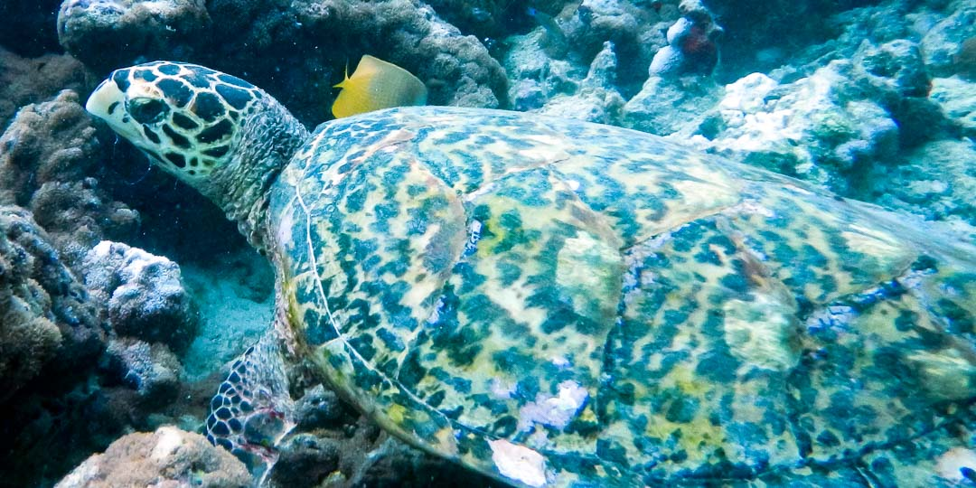 Wild Hawksbill turtle 'Hugo' Marine Savers Maldives