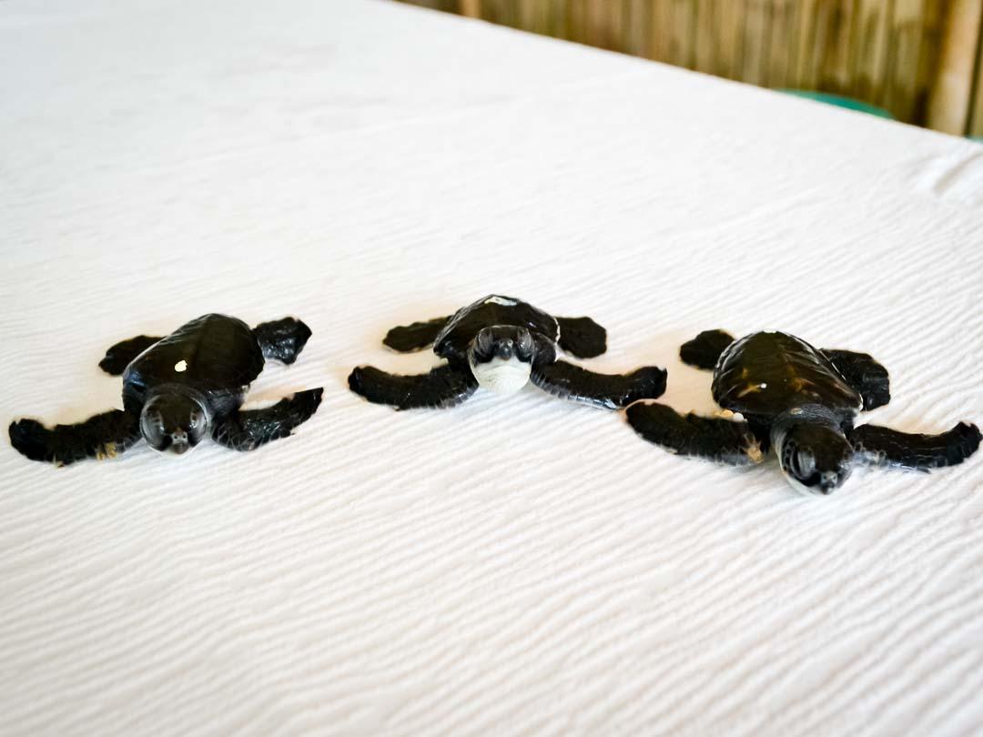 CM115-117 (2) - green sea turtle hatchlings - Marine Savers Maldives-2
