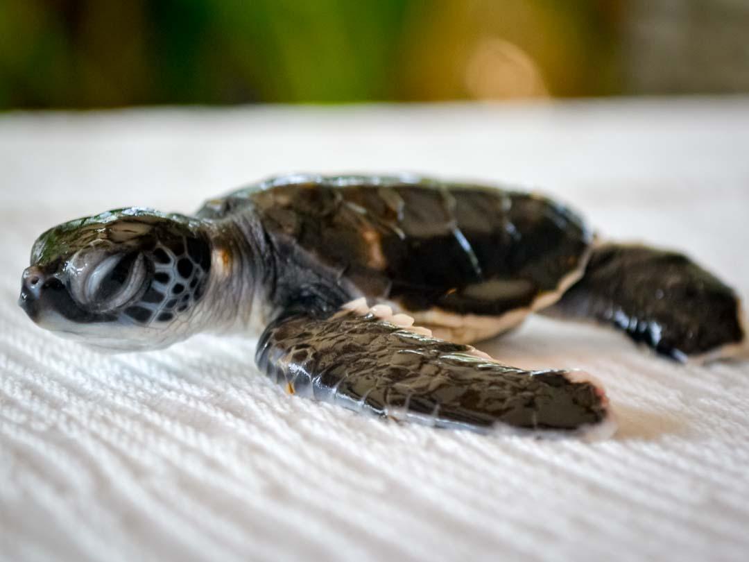 CM117 - green sea turtle hatchlings - Marine Savers Maldives
