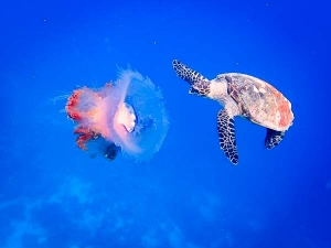 Hawksbill turtles actively feeding on a Purple Crown Jellyfish (Fish Life From Lab To Lagoon)