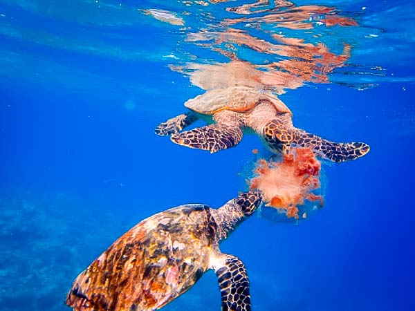 Hawksbill turtles actively feeding on a Purple Crown Jellyfish