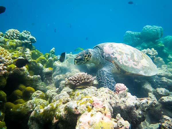 'Bear' (EI0377) hawksbill turtle resident of Makunudhoo reef since 2013