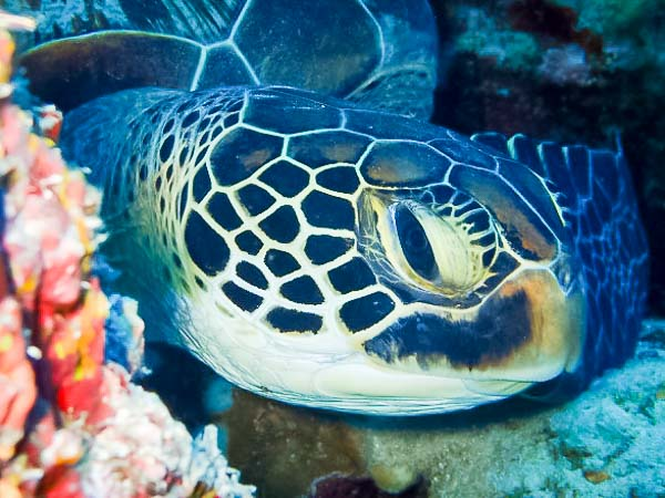 Green sea turtle 'Turtie McTurtface' (CM0097) at Amaa cave