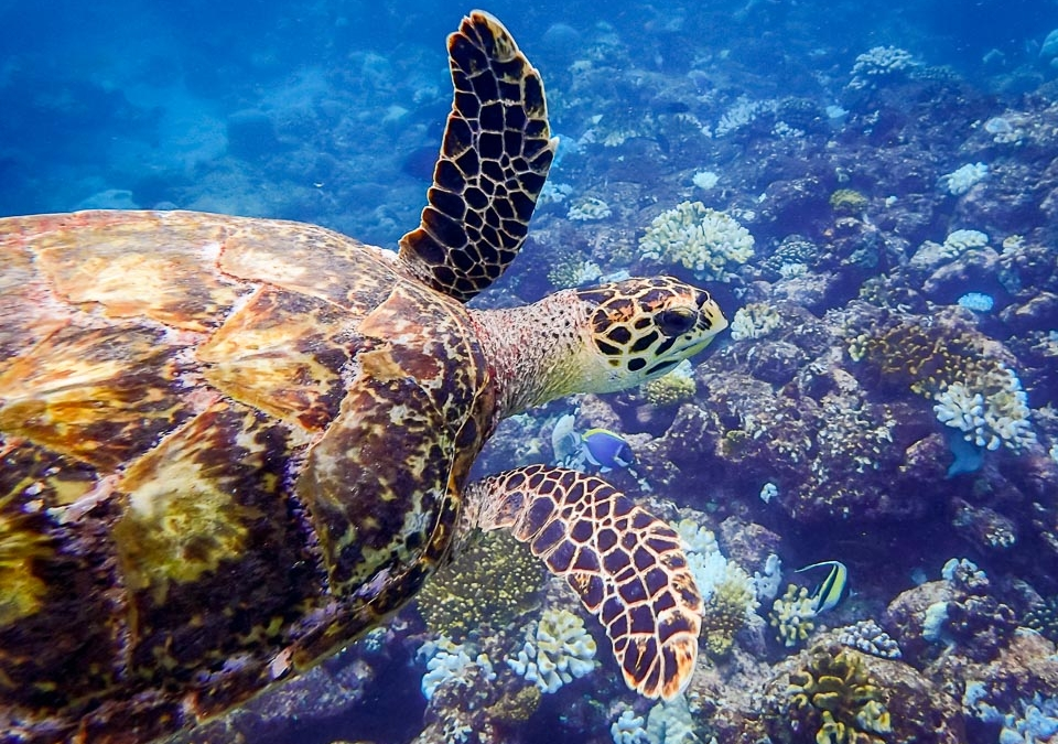 Maldivian Sea Turtle Updates