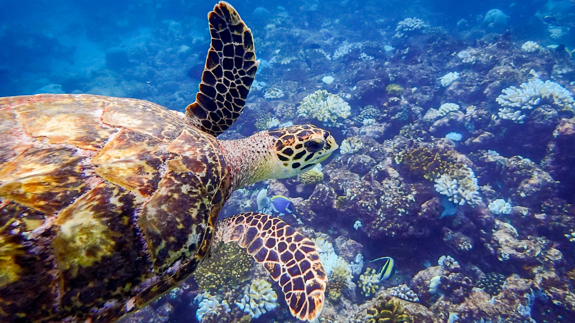 MSTIP - wild Hawksbill on the reef, Marine Savers Maldives