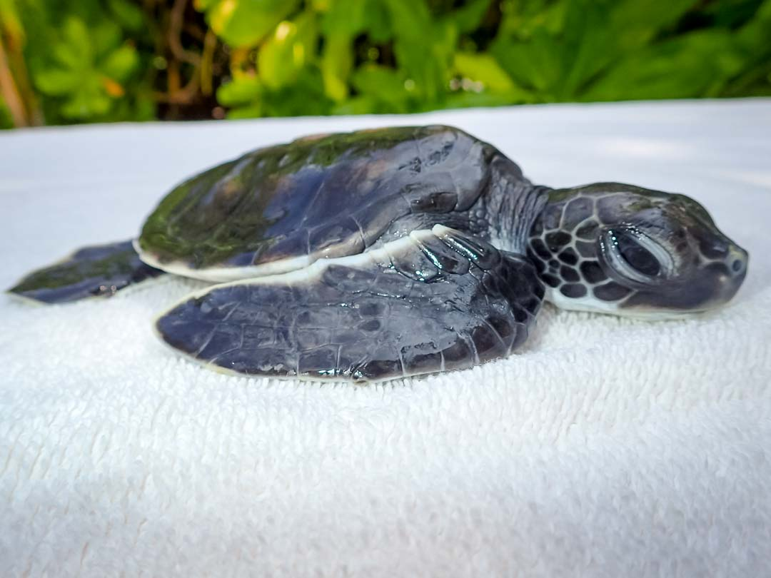 Momotaro - sea turtle conservation Maldives Marine Savers