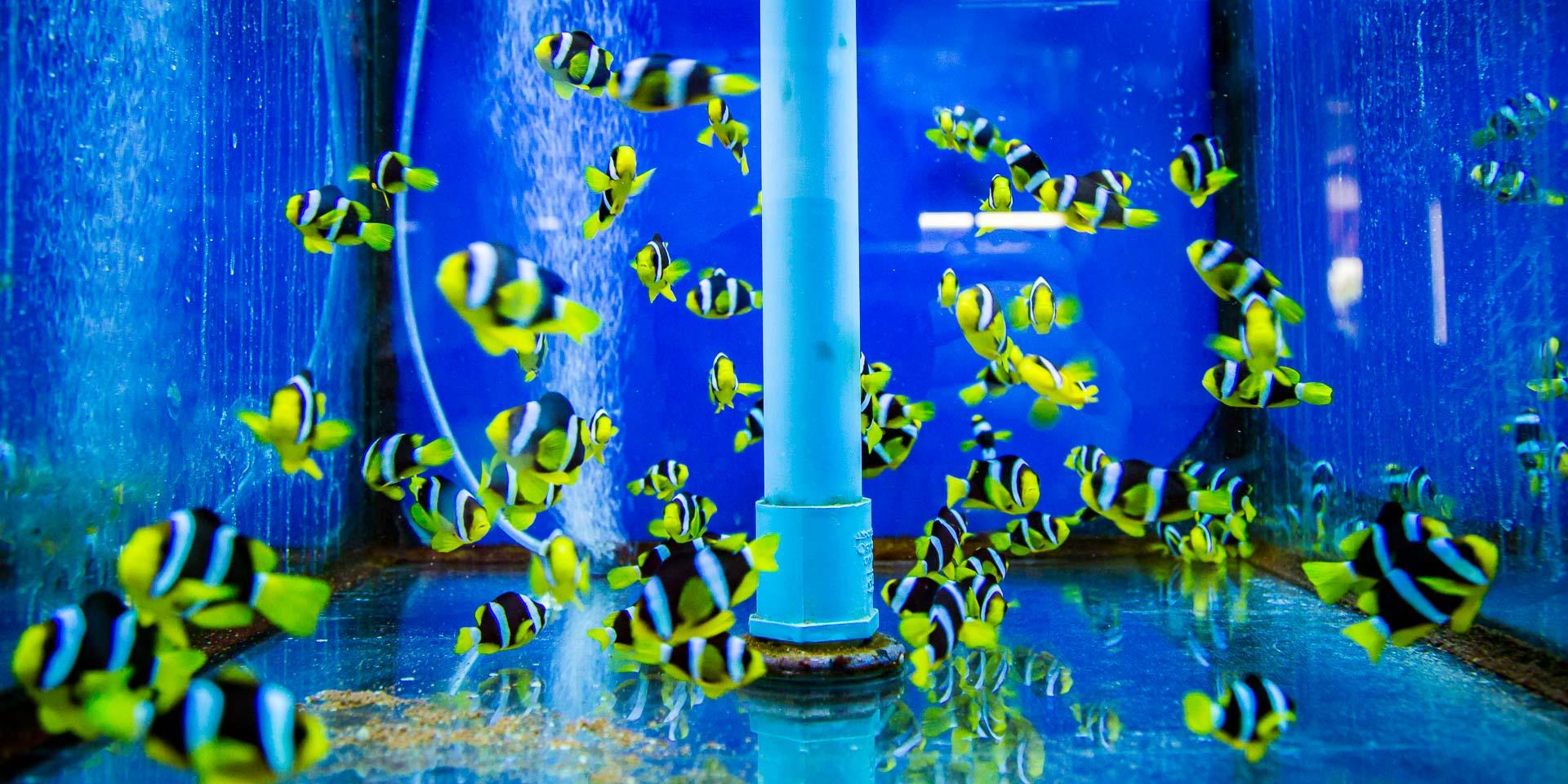 Clark's clownfish (Amphiprion clarkii) Marine Savers Maldives