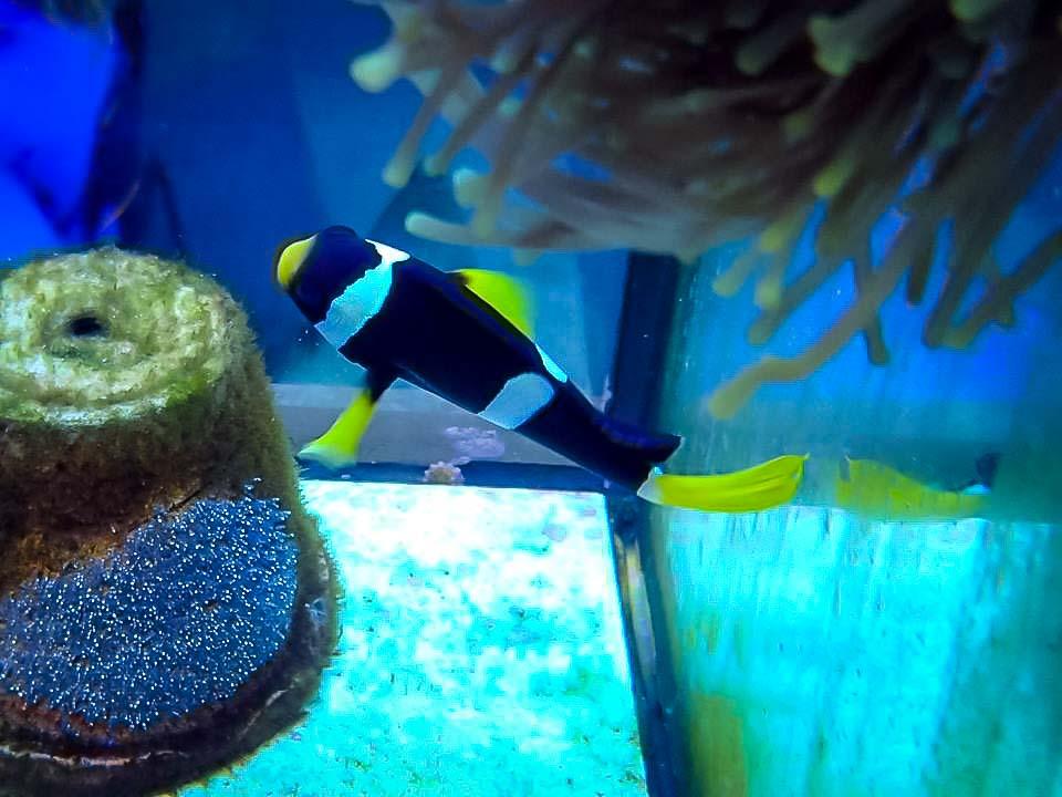 Fish Lab - adult Amphiprion clarkii clownfish guarding eggs - Marine Savers Maldives